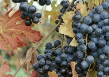 Сорт винограда из которого изготавливается вино Ламбруско